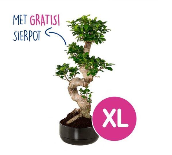 XL Kamer Bonsai Ficus 'Ginseng' | Incl. GRATIS keramische pot t.w.v. €29