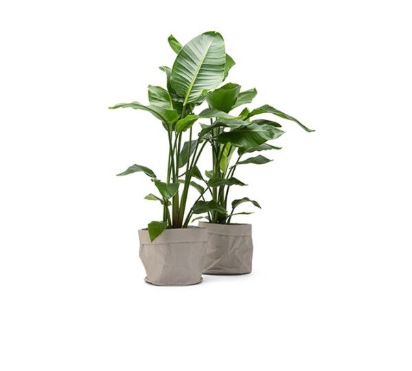 XL Strelitzia Nicolai 'Paradijsvogelplant' (+/- 120 cm) | Dé groene topper van dit moment