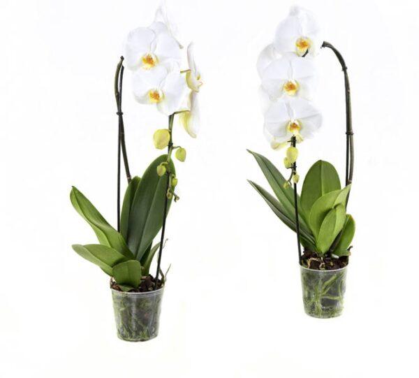 Vlinderorchideeën | Set van 2 | Mega scherp geprijsd